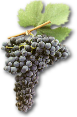 Мерло грозде