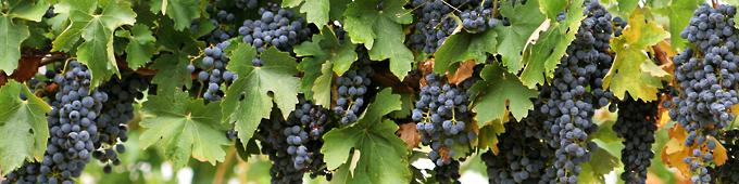 Лозя, вино Сира