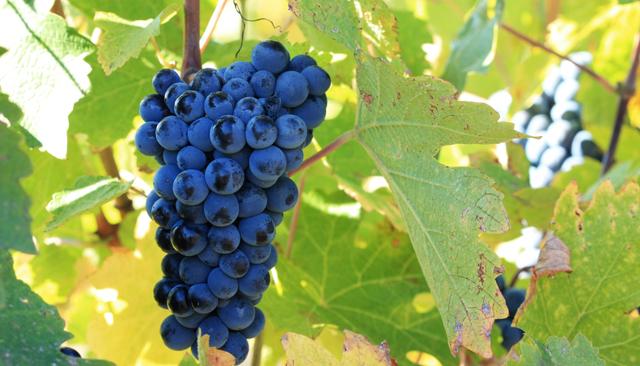 sirah_grape