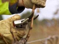 При смесената резитба се оставят по-дълги пръчки